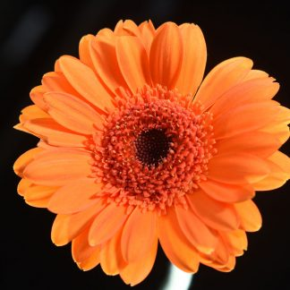 single orange Gerbera , floral display , limited edition print